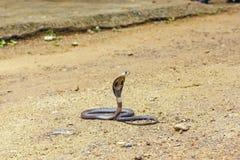 Βασιλιάς Cobra Ophiophagus Hannah Στοκ Εικόνες