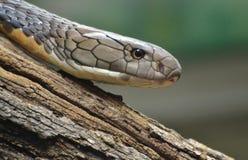 Βασιλιάς Cobra Ophiophagus Hannah Στοκ Φωτογραφίες