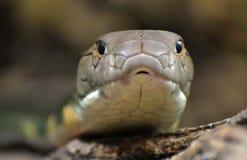 Βασιλιάς Cobra Ophiophagus Hannah Στοκ φωτογραφία με δικαίωμα ελεύθερης χρήσης