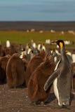 Βασιλιάς Penguin και πεινασμένος νεοσσός - Νήσοι Φώκλαντ Στοκ Εικόνες