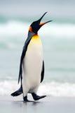 Βασιλιάς penguin που πηγαίνει από το μπλε νερό, Ατλαντικός Ωκεανός στο νησί των Νησιών Φόλκλαντ Πουλί θάλασσας στο βιότοπο φύσης  Στοκ φωτογραφία με δικαίωμα ελεύθερης χρήσης