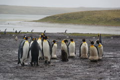 Βασιλιάς penguin στη βροχή Στοκ εικόνες με δικαίωμα ελεύθερης χρήσης