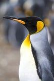 βασιλιάς penguin Στοκ εικόνες με δικαίωμα ελεύθερης χρήσης