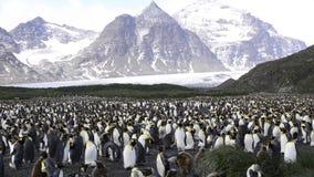 Βασιλιάς penguins στη νότια Γεωργία απόθεμα βίντεο