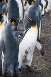 Βασιλιάς Penguins στο χρυσό λιμάνι Στοκ φωτογραφία με δικαίωμα ελεύθερης χρήσης
