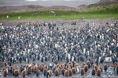 Βασιλιάς Penguins Fortuna στον κόλπο Στοκ Φωτογραφίες