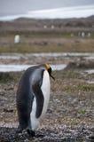 Βασιλιάς Penguins Fortuna στον κόλπο Στοκ Εικόνες