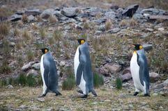 Βασιλιάς Penguins Fortuna στον κόλπο Στοκ εικόνες με δικαίωμα ελεύθερης χρήσης
