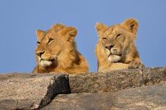 Βασιλιάδες λιονταριών Στοκ Εικόνες