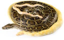 Βασιλικά pythons Στοκ φωτογραφία με δικαίωμα ελεύθερης χρήσης