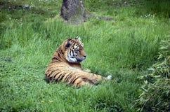 Βασιλική τίγρη ή τίγρη της Βεγγάλης Στοκ φωτογραφία με δικαίωμα ελεύθερης χρήσης