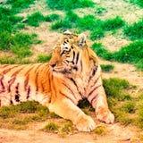 βασιλική τίγρη της Βεγγάλης Στοκ Εικόνες