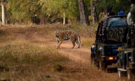 βασιλική τίγρη της Βεγγάλης Στοκ Εικόνα
