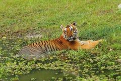 βασιλική τίγρη της Βεγγάλης Στοκ Φωτογραφίες