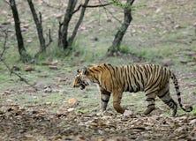 Βασιλική τίγρη της Βεγγάλης, Ranthambore Στοκ φωτογραφία με δικαίωμα ελεύθερης χρήσης