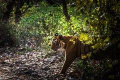 Βασιλική τίγρη τ-24 της Βεγγάλης Ustaad Στοκ εικόνες με δικαίωμα ελεύθερης χρήσης