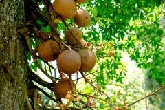 Βασιλικός βοτανικός κήπος Peradeniya στη Σρι Λάνκα Στοκ φωτογραφίες με δικαίωμα ελεύθερης χρήσης