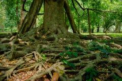 Βασιλικός βοτανικός κήπος Peradeniya στη Σρι Λάνκα Στοκ εικόνες με δικαίωμα ελεύθερης χρήσης