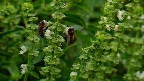 Βασιλικός λουλουδιών φιλμ μικρού μήκους