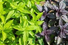 Βασιλικός πράσινος και πορφυρός, σαλάτα Στοκ εικόνα με δικαίωμα ελεύθερης χρήσης