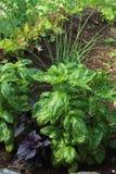 Βασιλικός πράσινος και πορφυρός σε έναν κήπο στοκ εικόνες με δικαίωμα ελεύθερης χρήσης