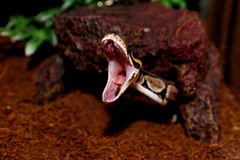 Βασιλικό δάγκωμα φιδιών Python! Στοκ φωτογραφίες με δικαίωμα ελεύθερης χρήσης