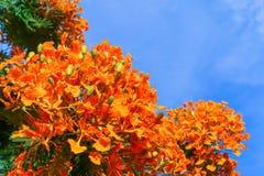 Βασιλικό Poinciana, επιδεικτικός, δέντρο φλογών (Delonix REGIS) πέρα από τον ουρανό Στοκ Εικόνες