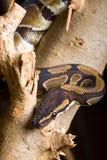 Βασιλικό python άνωθεν Στοκ εικόνες με δικαίωμα ελεύθερης χρήσης
