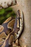 Βασιλικό python επάνω Στοκ φωτογραφία με δικαίωμα ελεύθερης χρήσης