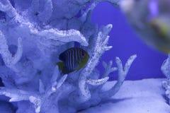 Βασιλοπρεπές κρύψιμο angelfish μεταξύ των κοραλλιών Στοκ φωτογραφίες με δικαίωμα ελεύθερης χρήσης