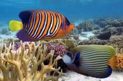 Βασιλοπρεπές angelfish στη Ερυθρά Θάλασσα Στοκ Εικόνα