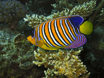 Βασιλοπρεπές angelfish Poisson ange royale Στοκ Εικόνες