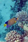 Βασιλοπρεπές anglfish στη Ερυθρά Θάλασσα. Στοκ φωτογραφίες με δικαίωμα ελεύθερης χρήσης