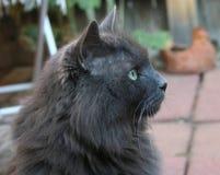 Βασιλοπρεπής γάτα Στοκ φωτογραφίες με δικαίωμα ελεύθερης χρήσης