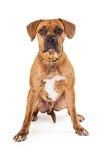 Βασιλοπρεπής μεγάλη μικτή συνεδρίαση σκυλιών φυλής στοκ εικόνες