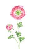 Βατράχιο Watercolor στο άσπρο υπόβαθρο Στοκ Εικόνες
