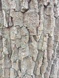 Βαλανιδιά κάστανων Στοκ φωτογραφία με δικαίωμα ελεύθερης χρήσης