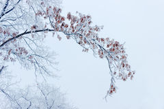 Βαλανιδιά κλάδων που καλύπτεται με το χιόνι και hoarfrost Στοκ εικόνα με δικαίωμα ελεύθερης χρήσης