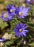 Βαλκανικό anemone Στοκ Εικόνες