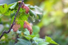Βγάζει φύλλα αρχίζει να εξασθενίζει στους κλάδους των σταφίδων, arri φθινοπώρου στοκ εικόνες
