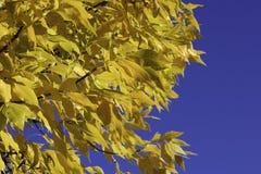 βγάζει φύλλα κίτρινο Στοκ φωτογραφία με δικαίωμα ελεύθερης χρήσης