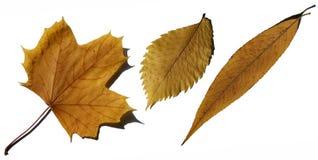 βγάζει φύλλα κίτρινο Στοκ Φωτογραφίες