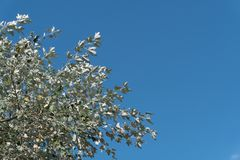Βγάζει φύλλα του χορού λευκών silverleaf στον αέρα ενάντια στο μπλε ουρανό Στοκ Εικόνες