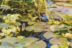 Βγάζει φύλλα του cruziana Βικτώριας νερού lilly στην τροπική επιφάνεια φ νερού λιμνών στοκ εικόνα