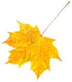 βγάζει φύλλα το σφένδαμνο Στοκ φωτογραφία με δικαίωμα ελεύθερης χρήσης