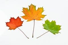 βγάζει φύλλα το σφένδαμνο στοκ εικόνα με δικαίωμα ελεύθερης χρήσης