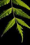 βγάζει φύλλα Στοκ φωτογραφία με δικαίωμα ελεύθερης χρήσης