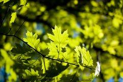 βγάζει φύλλα στοκ εικόνα με δικαίωμα ελεύθερης χρήσης