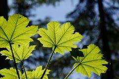 Βγάζει φύλλα μιας λέσχης διαβόλων από κάτω από Στοκ φωτογραφίες με δικαίωμα ελεύθερης χρήσης