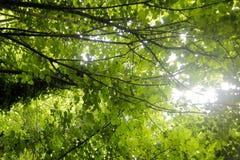 Βγάζει φύλλα να λάμψει σε πιό forrest στοκ εικόνες